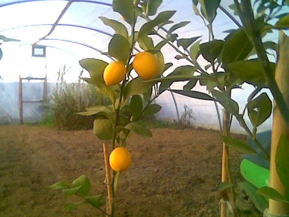 Limon
